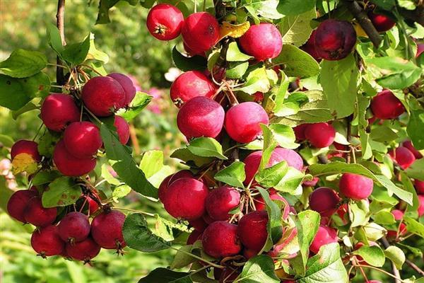 Яблоня Ранетка пурпуровая изображение 5