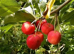 Яблоня Ранетка пурпуровая изображение 1