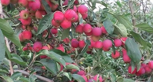 Яблоня Ранетка пурпуровая 2