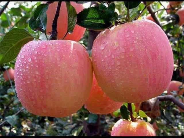 Яблоня Розовый Налив изображение 1