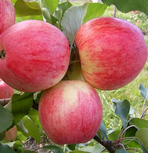 Яблоня Розовый Налив изображение 3