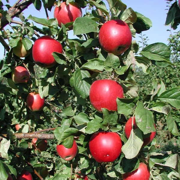 Яблоня Строевское 3