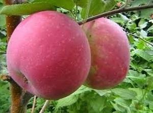 Яблоня Строевское 1