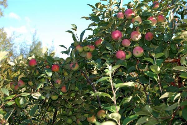 Яблоня Зарянка изображение 4