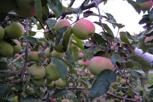 Яблоня Зарянка изображение 3