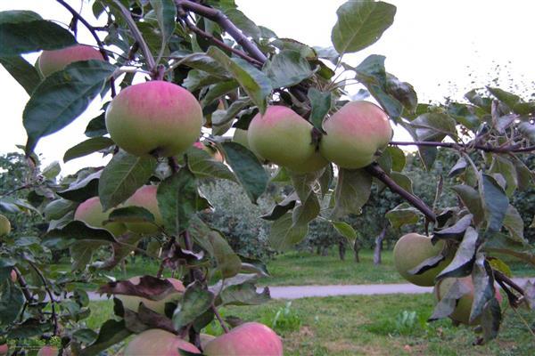 Яблоня Зарянка изображение 2