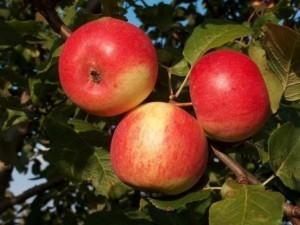 Яблоня Зарянка изображение 1