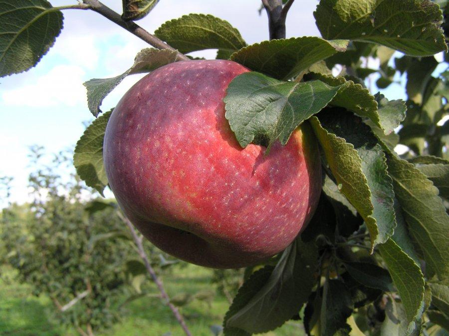 Яблоня Желанное 3
