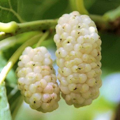 Шелковица Белая медовая 2