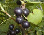 Смородина черная Бинар