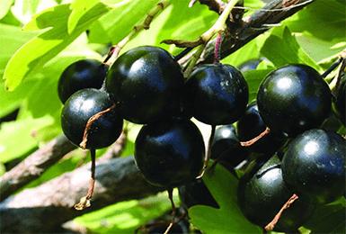 Смородина черная Черный жемчуг 2