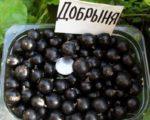 Смородина черная Добрыня