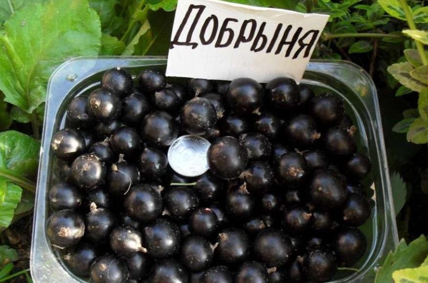 Смородина черная Добрыня 1