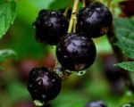 Смородина черная Измайловская