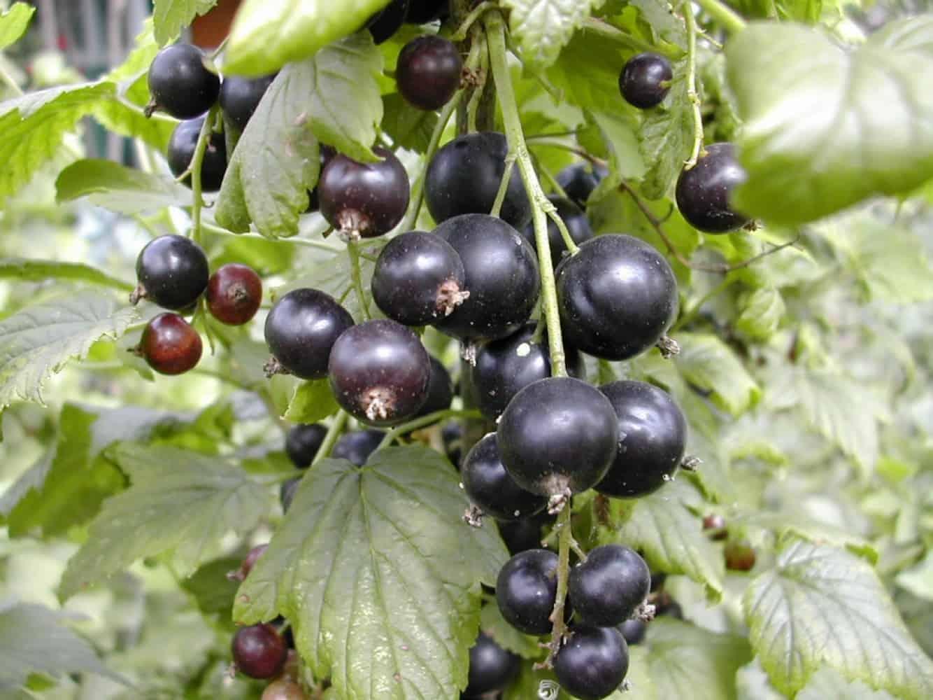 Смородина черная Измайловская 3