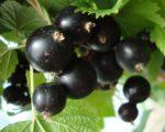 Смородина черная Изюмная