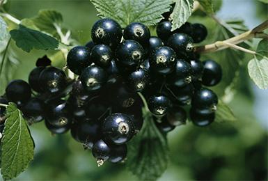 Смородина черная Изюмная 2