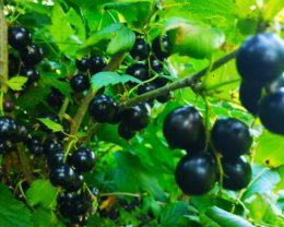Смородина черная Виноградная