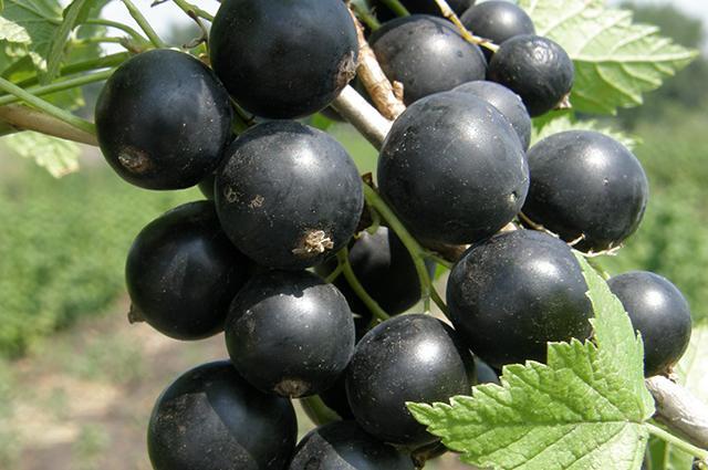 Смородина черная Зеленая дымка 2