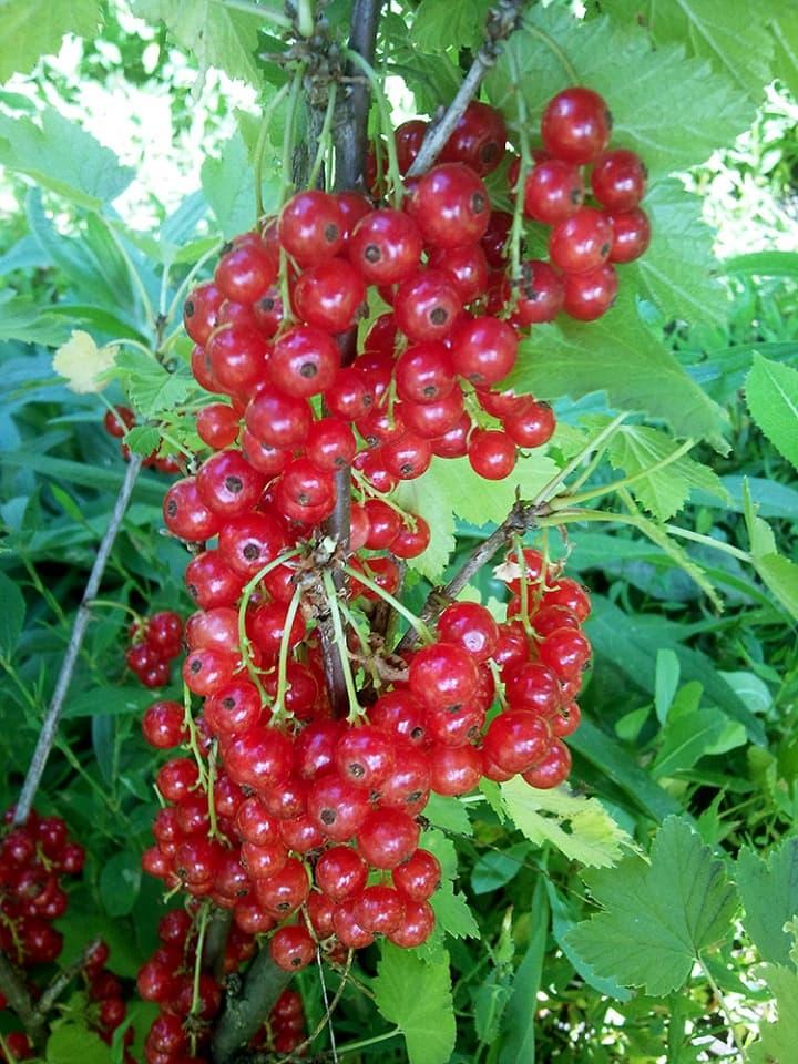 Смородина красная Ролан 1