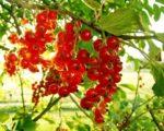 Смородина красная Серпантин