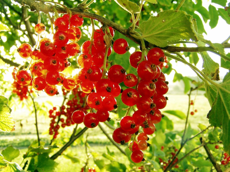 Смородина красная Серпантин 1