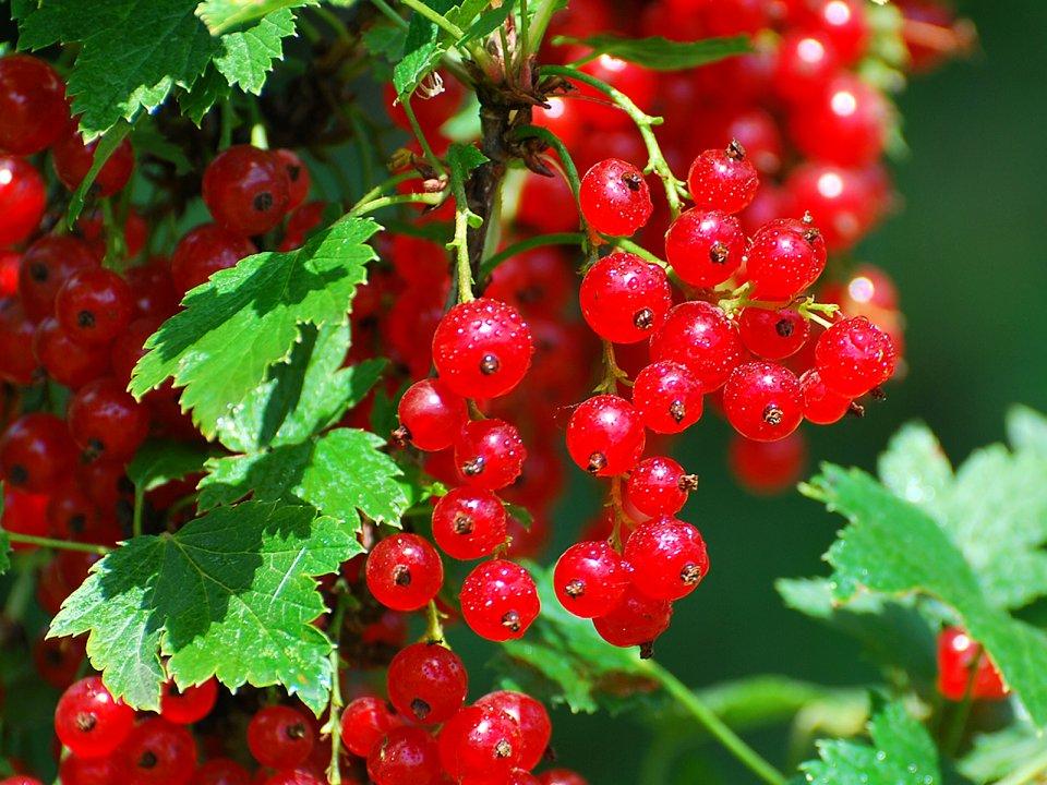 Смородина красная Серпантин 4