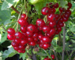 Смородина красная Валентиновка