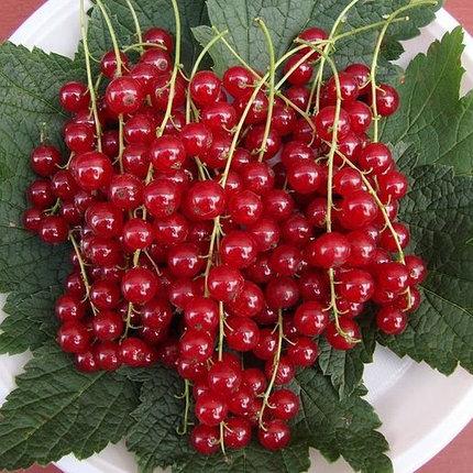 Смородина красная Валентиновка 2
