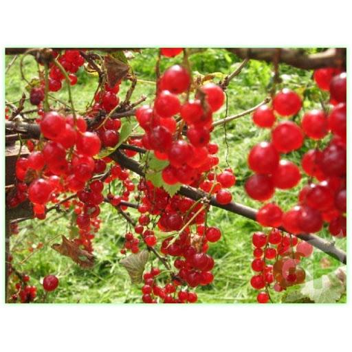 Смородина красная Валентиновка 3