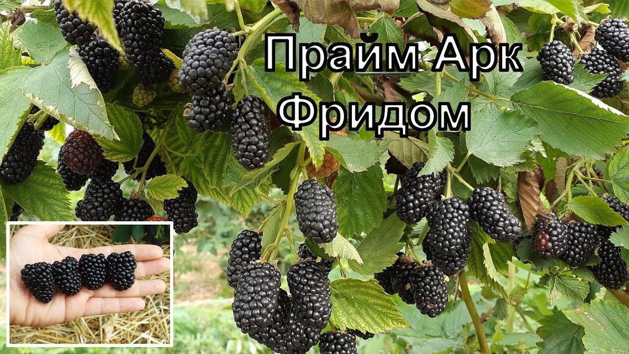 Ежевика Прайм арк фридом 4