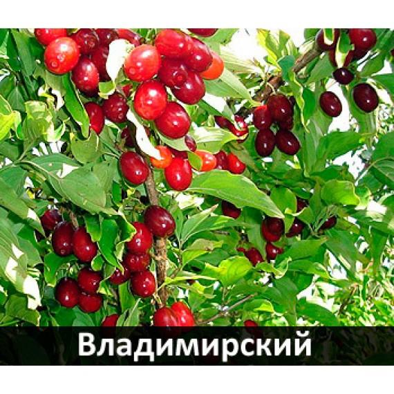 Кизил Владимирский 4