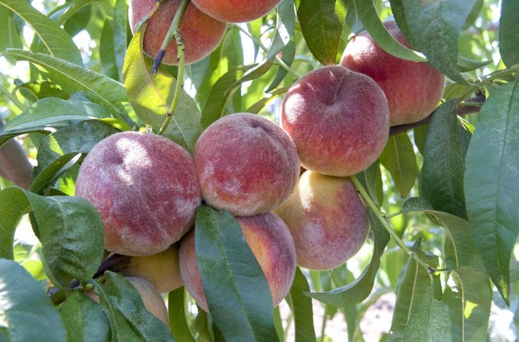 Персик Краснощекий 2