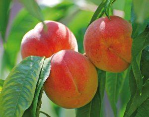 Персик Краснощекий 4