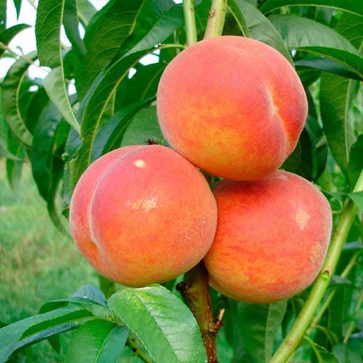 Персик Майский цветок 1