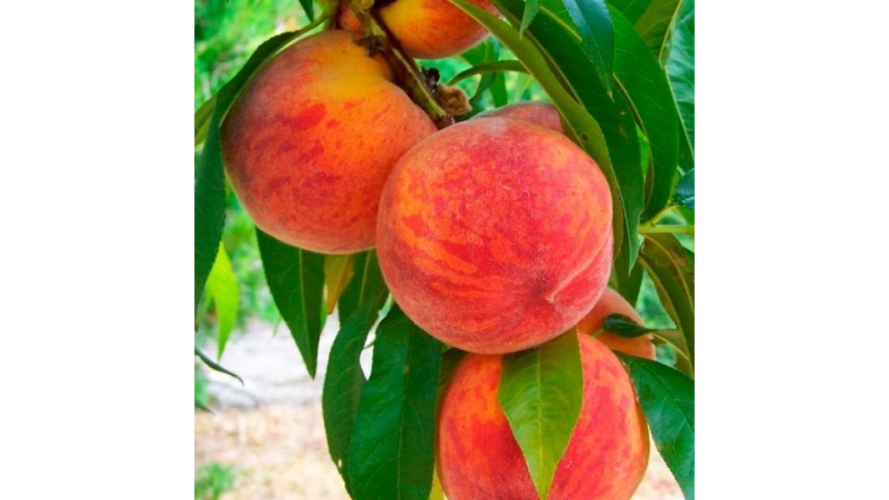 Персик Майский цветок 2