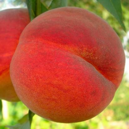 Персик Майский цветок 4