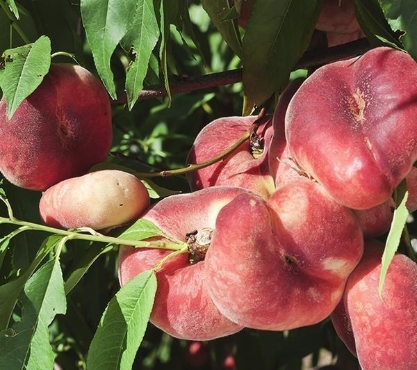 Персик Никитский плоский 2