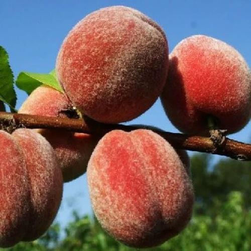 Персик Пушистый ранний 1