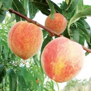Персик Пушистый ранний 2