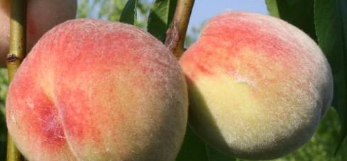 Персик Пушистый ранний 4
