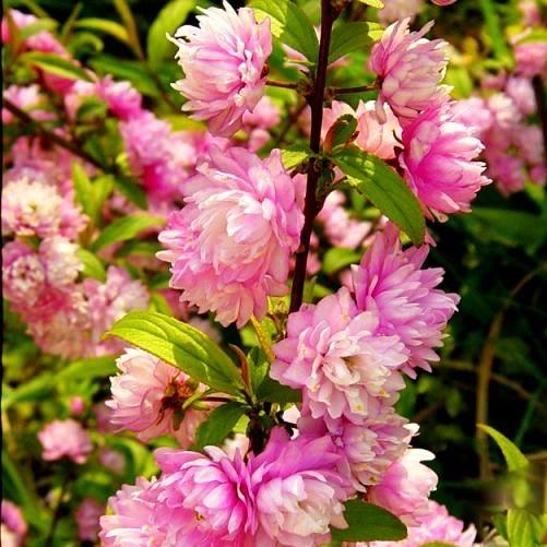 Сакура Розеа Плена 1