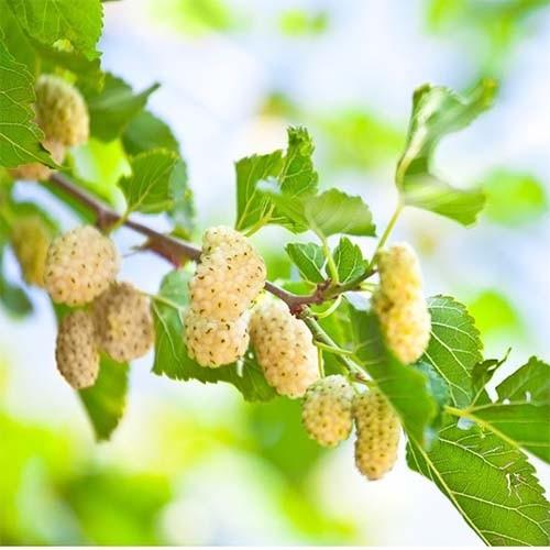 Шелковица Плодовая 1 1
