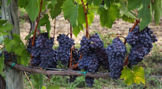 Виноград Альфа 1