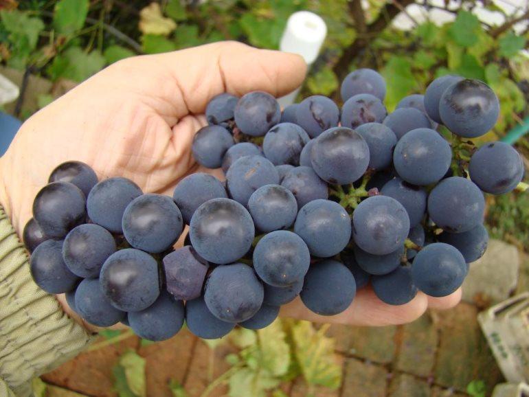Виноград Альфа 2