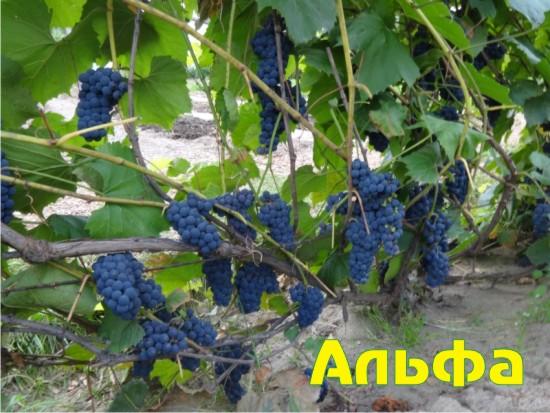 Виноград Альфа 4