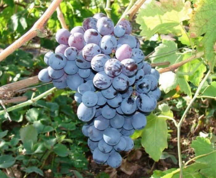 Виноград Альфа 3