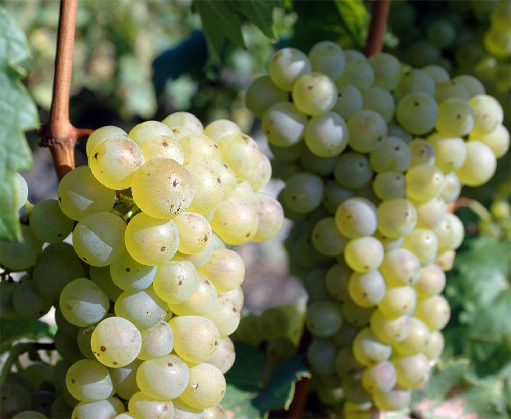 Виноград Аврора 1