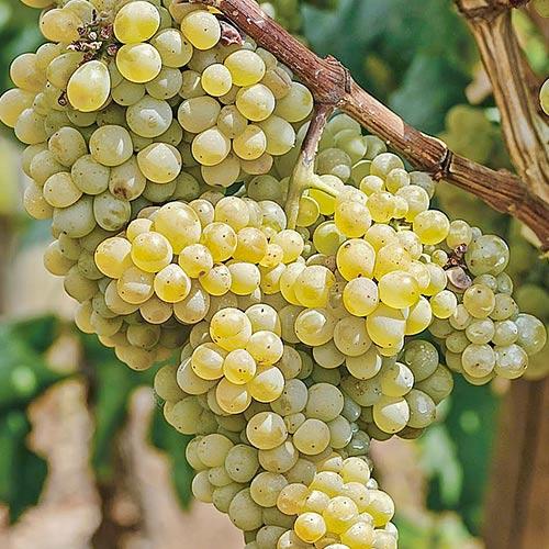 Виноград Аврора 2