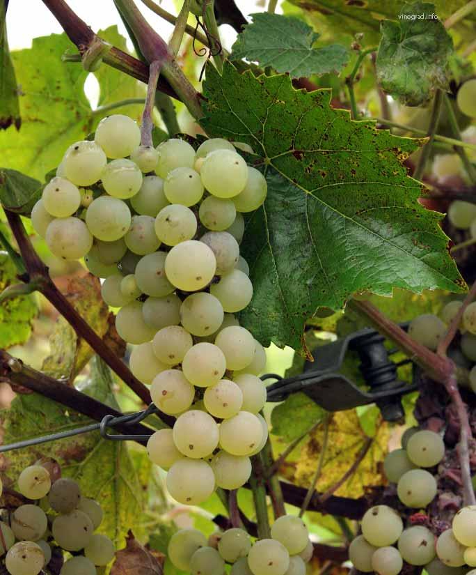 Виноград Аврора 3
